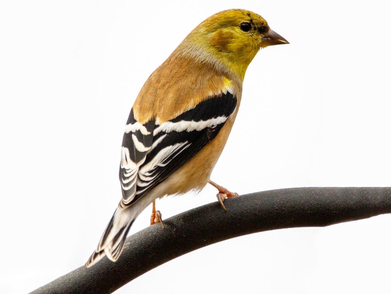 goldfinch-logo-design-branding